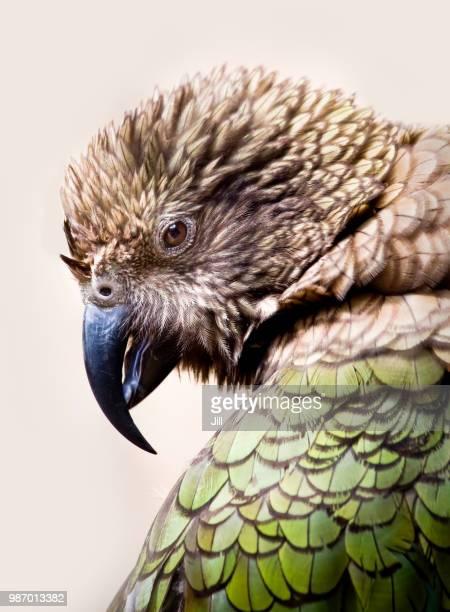kea - beak stock pictures, royalty-free photos & images