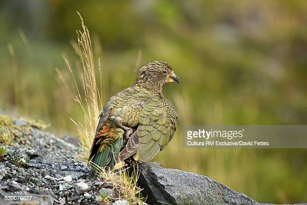 Kea (nestor notabilis), the only alpine parrot in the world, Milford Sound, South Island, New Zealand