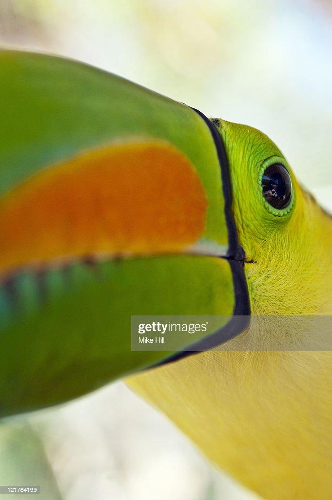 Keel billed Toucan Closeup (Ramphastos Sulfuratus), Honduras, Captive : Stock Photo