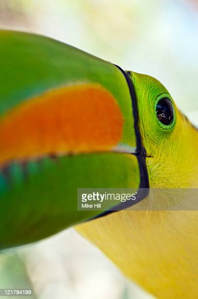 Keel billed Toucan Closeup (Ramphastos Sulfuratus), Honduras, Captive
