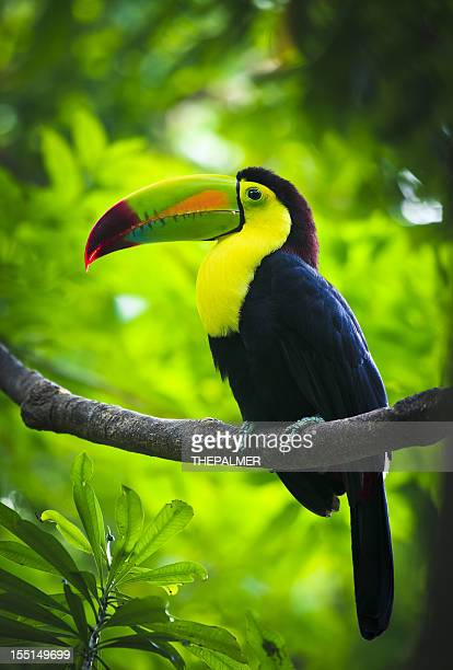 Keel billed Toucan perched on a tree branch