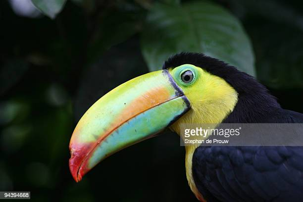 keel billed toucan - stephan de prouw stock pictures, royalty-free photos & images