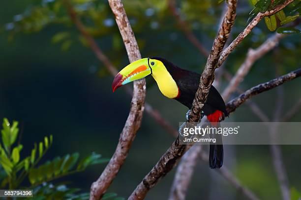 Keel-billed Toucan (Ramphastos sulfuratus) Costa Rica