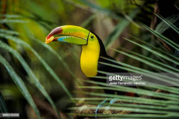 a keel-billed toucan eating a piece of fruit. ramphastos sulfuratus. - toucan stock photos and pictures