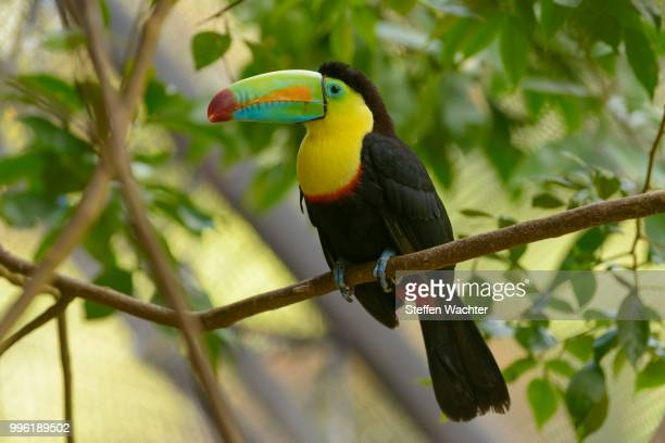 keel-billed toucan (ramphastos sulfuratus) perched on a tree branch, captive, alajuela province, costa rica - black mandibled toucan stock photos and pictures