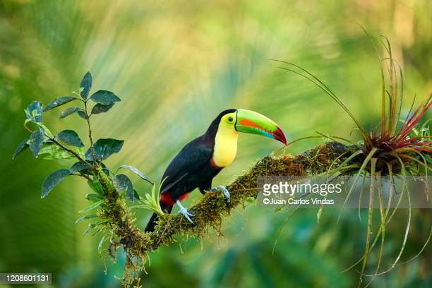 keel-billed toucan (ramphastos sulfuratus) - toucan stock pictures, royalty-free photos & images