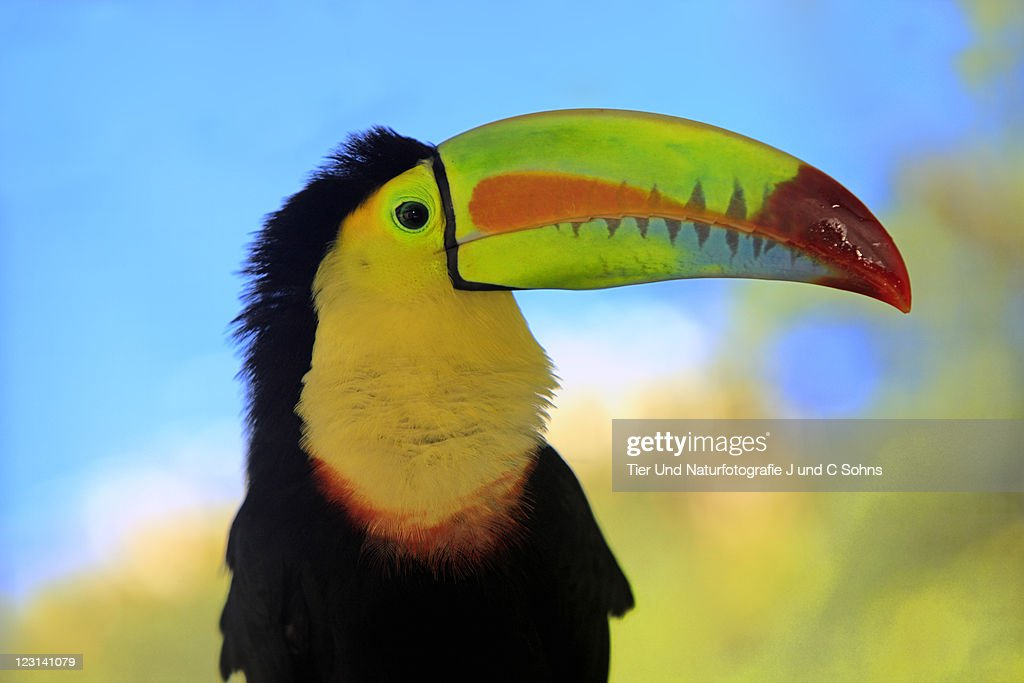 Keel-Billed Toucan (Ramphastos sulfuratus) : Stock Photo