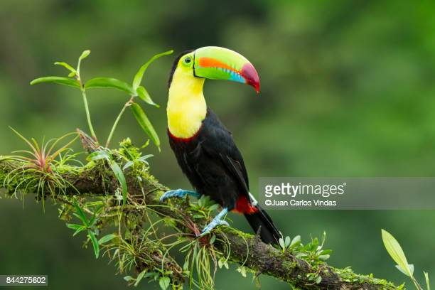 keel-billed toucan - toucan stock photos and pictures