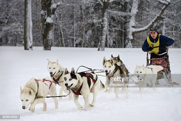 Keen young male musher with six Seppala sled dogs at start of 10 mile race in fresh snow