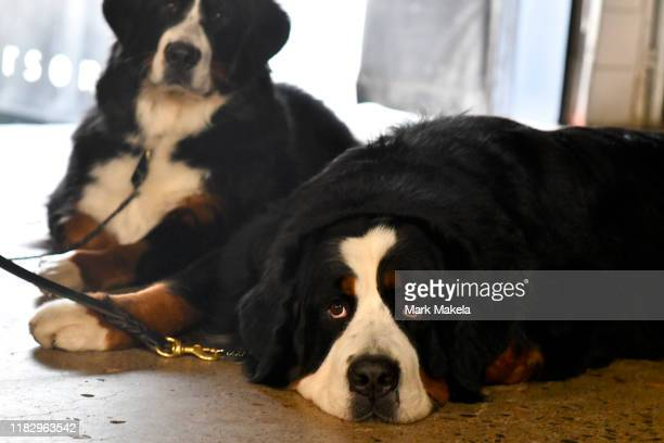 Keeper a Bernese Mountain Dog waits backstage for his turn to compete at the Greater Philadelphia Expo Center during the National Dog Show on...