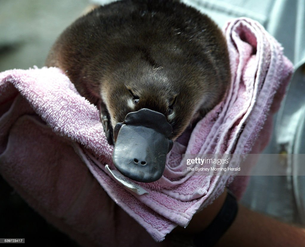 A keeper at Taronga Zoo holds a baby platypus, known as a puggle, after weighing : ニュース写真