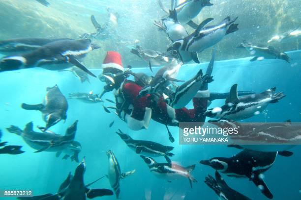 A keeper clad in a Santa Claus costume feeds Magellanic penguins in a water tank as part of Christmas events at Hakkeijima Sea Paradise amusement...