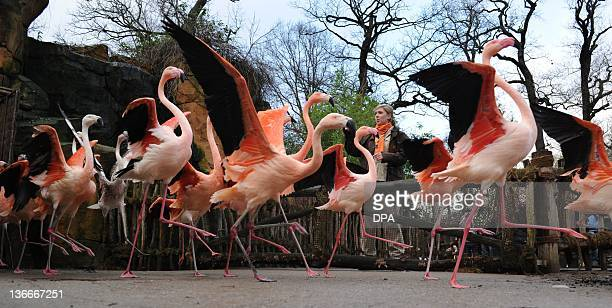 A keeper counts flamingos during an inventory at the zoo in Hanover central Germany on January 10 2012 During the annual inventory keepers of the zoo...