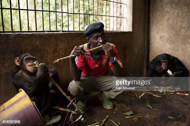 Keeper Fayer Kourouma interacts with Labe one of the nursery group over sugar cane during a forest bushwalk at the Chimpanzee Conservation Centre on...