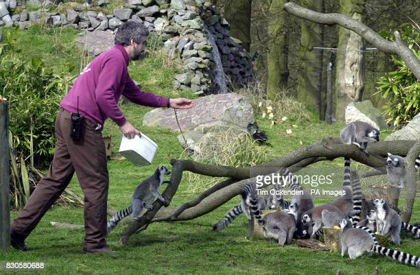 A keeper feeds lemurs at the Whipsnade WIld Animal Park in Bedfordshire 19 April 2001 on the first day it reopened after its closure Iin late...