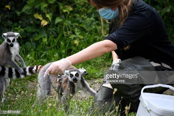 A keeper feeds ringtailed lemurs walk in their enclosure at the Paris Zoological Park in the Vincennes woods in Paris on June 8 on the zoo's...