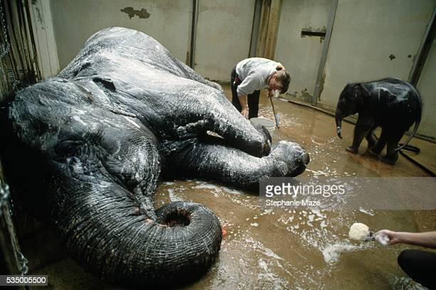 Keeper Giving Elephants a Bath