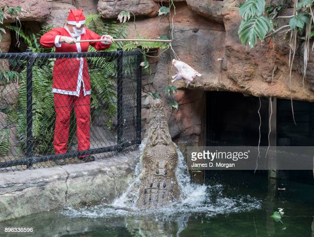 A keeper hangs out a Christmas turkey to feed to Rocky the Crocodile at Wild Life Sydney Zoo on December 21 2017 in Sydney Australia A variety of...