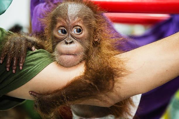 A keeper holding a rescued infant orangutan