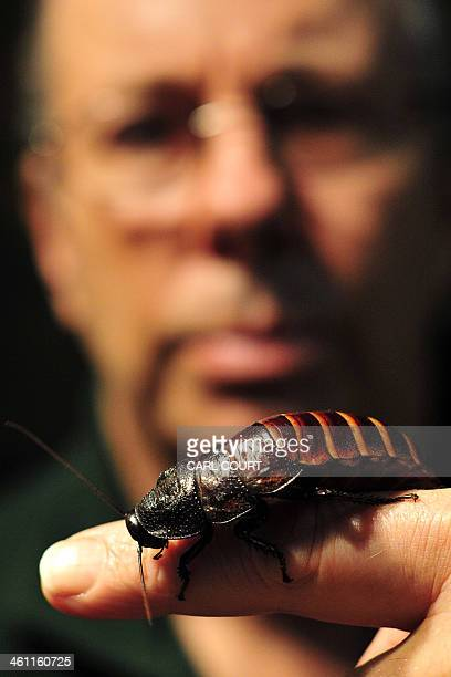 A keeper holds a hissing cockroach during a photo call for Whipsnade Zoo's annual stocktake in Dunstable Bedfordshire north of London on January 7...