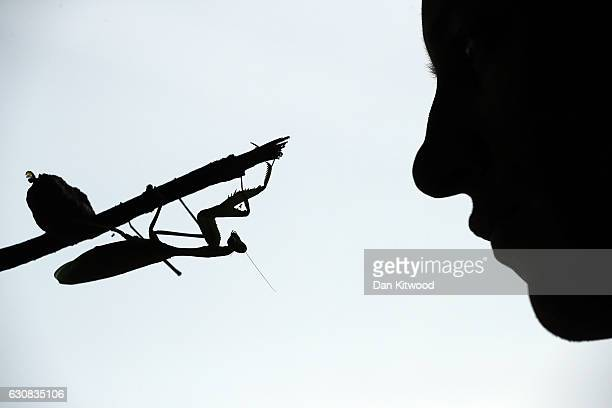 A keeper holds a Praying Mantis during a photocall at ZSL London Zoo's annual 'Stocktake' on January 3 2017 in London England Zoological Society of...