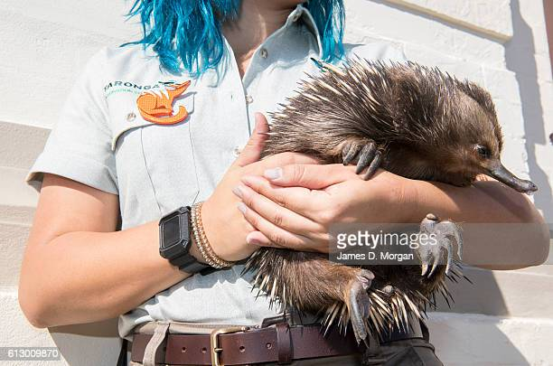 Keeper holds an Australian Echidna during birthday celebrations at Taronga Zoo on October 7, 2016 in Sydney, Australia. Today marks exactly 100 years...