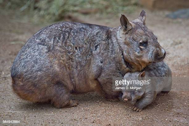 """Keeper holds and shows off the new baby """"Hairy Nose Wombat"""" on September 17, 2014 in Melbourne, Australia."""