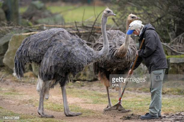 A keeper is observed by two ostriches as she cleans their enclosure at the zoo in Nuremberg southern Germany on February 28 2012 AFP PHOTO / DAVID...