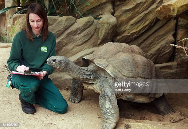 Keeper Jenny Spencer counts Biggie the giant tortoise during the annual New Year animal stock take at Bristol Zoo Gardens on January 7, 2009 in...
