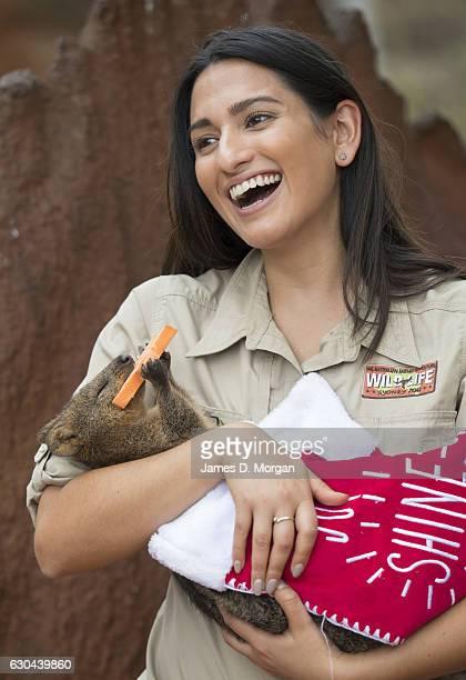 Keeper Melissa Retamales cradles Davey the Quokka as he enjoys a sweet potato star in a Christmas stocking at Wild Life Sydney Zoo on December 23...