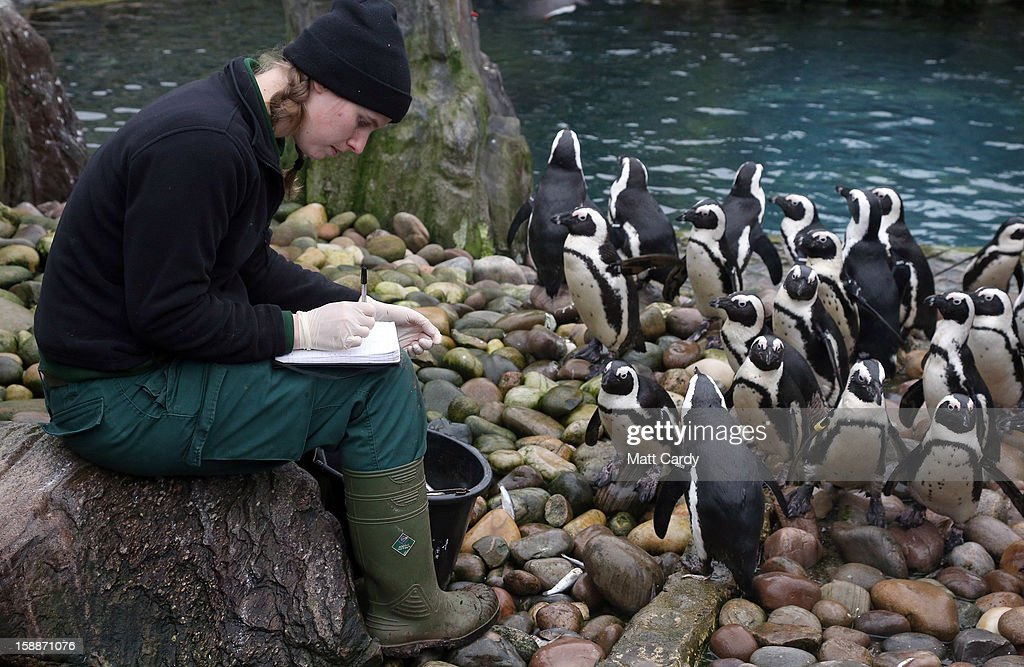 Keeper Pippa Green helps count some of the penguins as part of the annual stock take at Bristol Zoo on January 2, 2013 in Bristol, England. The annual animal 'census' is carried out at the start of each year and includes stocktaking more than 400 species; from tiny insects, fish and birds, to seals, gorillas and monkeys.