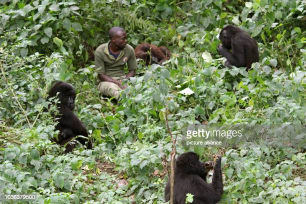 Keeper plays with mountain gorillas in the Senkwekwe Centre, the world's only orphanage for such mammals, in the Virunga National Park in Rumangabo,...