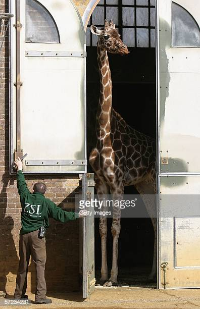 A keeper releases a giraffe at the launch of the new state of the art exhibit 'Into Africa' at London Zoo on April 2 2006 in London England The new...