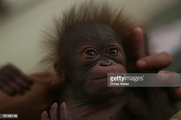 Keeper Sri Suwarni plays with Elmo 26dayold orangutan baby in a nursery at the Taman Safari conservation center on August 18 2007 in Cisarua...