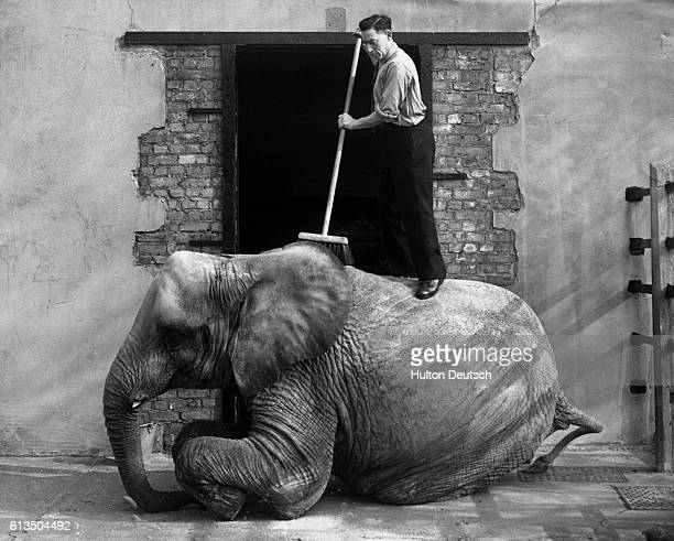 Keeper stands on an African elephant's back as he sweeps it with a broom. London Zoo, ca. 1935.