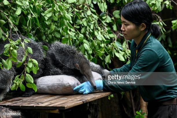 Keeper takes care of a female giant anteater and her three-month-old twin cubs at Chimelong Safari Park on June 10, 2020 in Guangzhou, Guangdong...