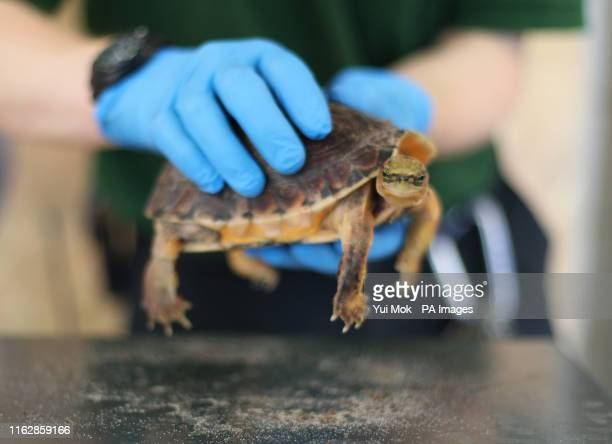 Keeper Tyrone with a McCord's box turtle during the annual weighin at Whipsnade Zoo in Dunstable Bedfordshire