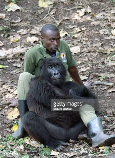 Keeper with a mountain gorilla in the Senkwekwe Centre, the world's only orphanage for such mammals, in the Virunga National Park in Rumangabo,...