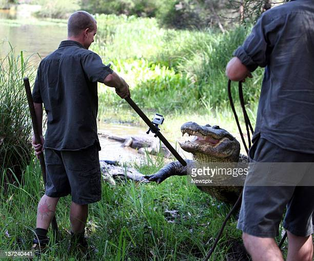 Keepers Brad Gabrielle and Chris Wallace keep to keep the park's oldest American male alligator at bay during the annual Alligator egg harvest at the...