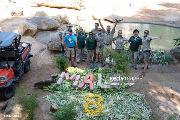 Keepers prepare a birthday treat to celebrate Mali's eighth birthday at Melbourne Zoo on January 16 2018 in Melbourne Australia Mali was born on...