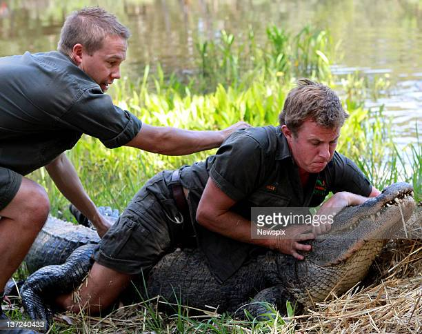 Keepers Tim Faulkner and Billy Colette restrain the park's oldest American male alligator during the annual Alligator egg harvest at the Australian...