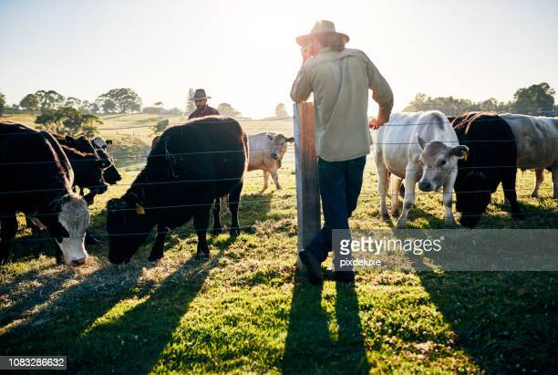 keeping a watchful eye over the herd - cattle stock pictures, royalty-free photos & images