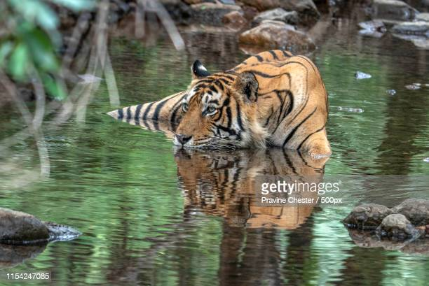 keeping cool - ranthambore national park stock pictures, royalty-free photos & images