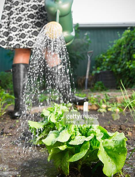Keeping the vegetable garden watered.