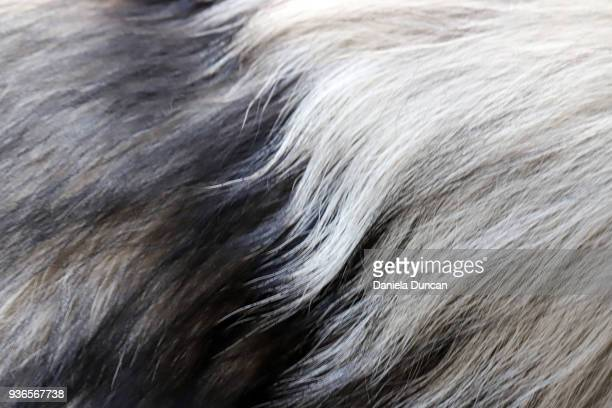 Keeshond fur close-up
