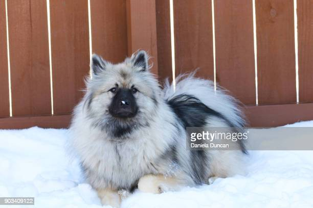 Keeshond resting by the fence
