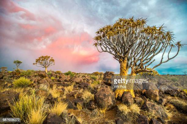 Keetmanshoop Namibia Quiver tree forest in the Playground of the Giants