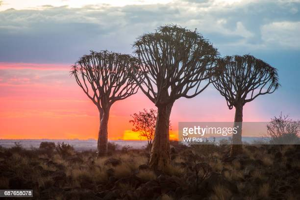 Keetmanshoop Namibia Quiver tree forest silhouetted at dusk in the Playground of the Giants