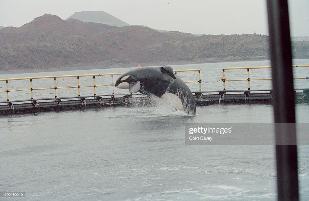 Keiko The Orca : News Photo