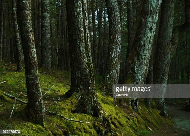 kejimkujik national park hemlock forest - hemlock tree stock pictures, royalty-free photos & images